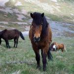 Современные лошади оказались потомками «азиатов»