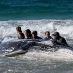 Найдена причина суицидов китов