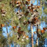 Из Северной Америки начали исчезать бабочки