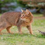 Ученые обвиняют кошек вуничтожении редких птиц Австралии