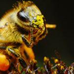 Исследование: пчелы разучились жужжать из-запестицидов