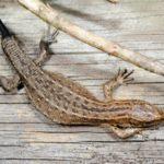 Найдены клетки, которые помогали ящерицам отращивать хвосты