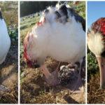 ВСШАмыши-кровопийцы убили тысячу альбатросов