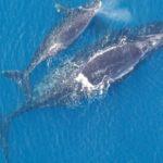 Вымирающие гладкие киты остались безпотомства