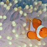 Биологи выяснили, зачем рыбам-клоунам белые полоски