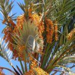 Биологи научились определять полфиниковой пальмы