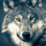 Серый волк изМонголии прошёл рекордные 7247 кмзаодин год